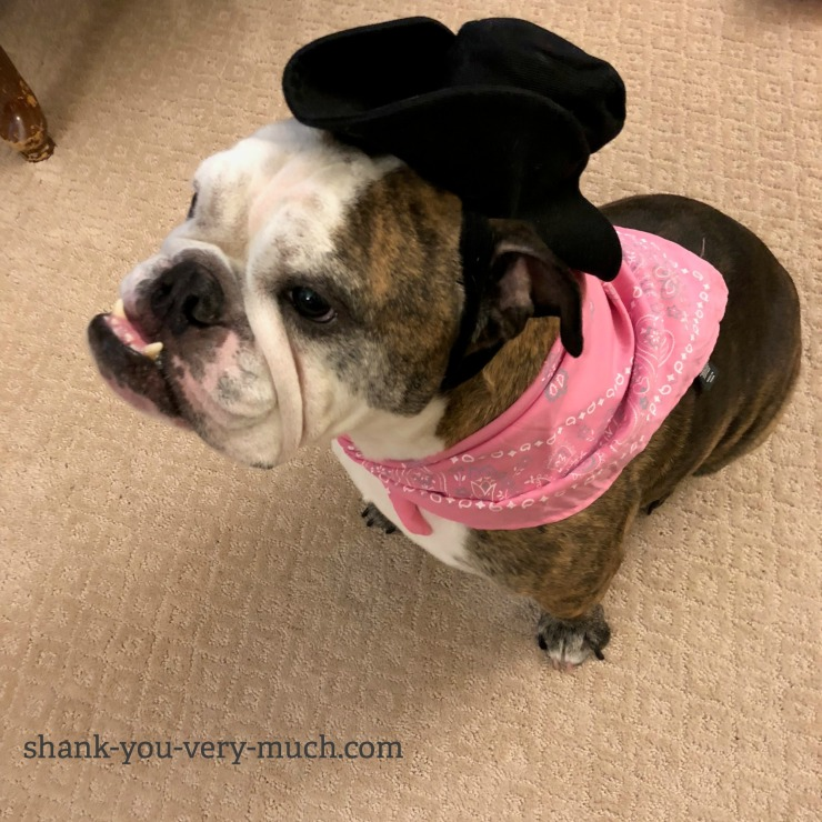 Lola the bulldog wearing a cowgirl hat and a pink bandana around her neck.