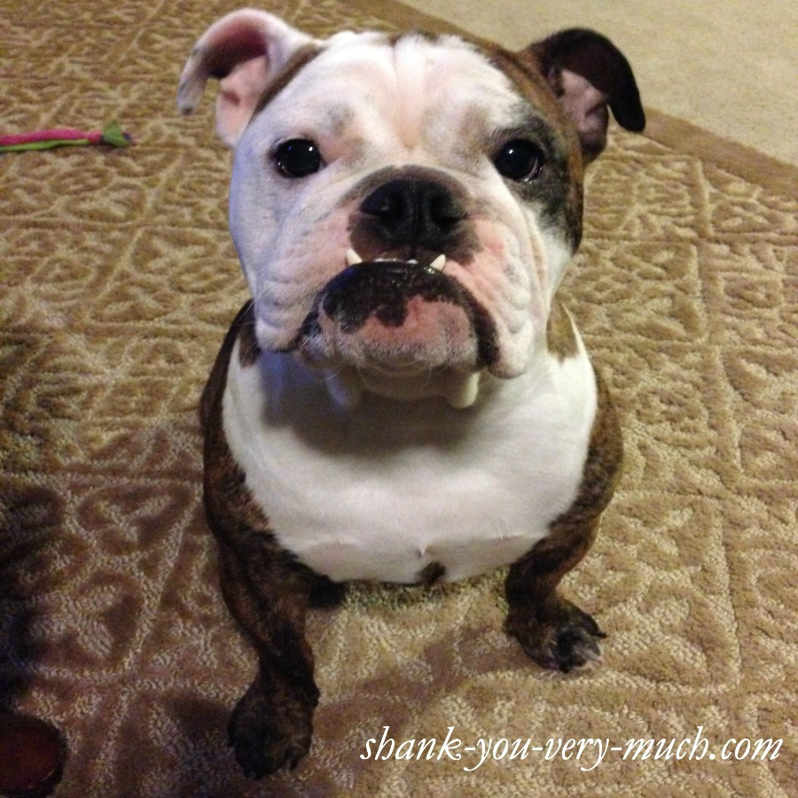 Lola the English Bulldog is sitting down, looking directly into the camera. Her ears are perked up, and her bottom teeth jut forward so that you can see them when her mouth is closed. She has brindle and white fur, with one eye and ear patched with color.
