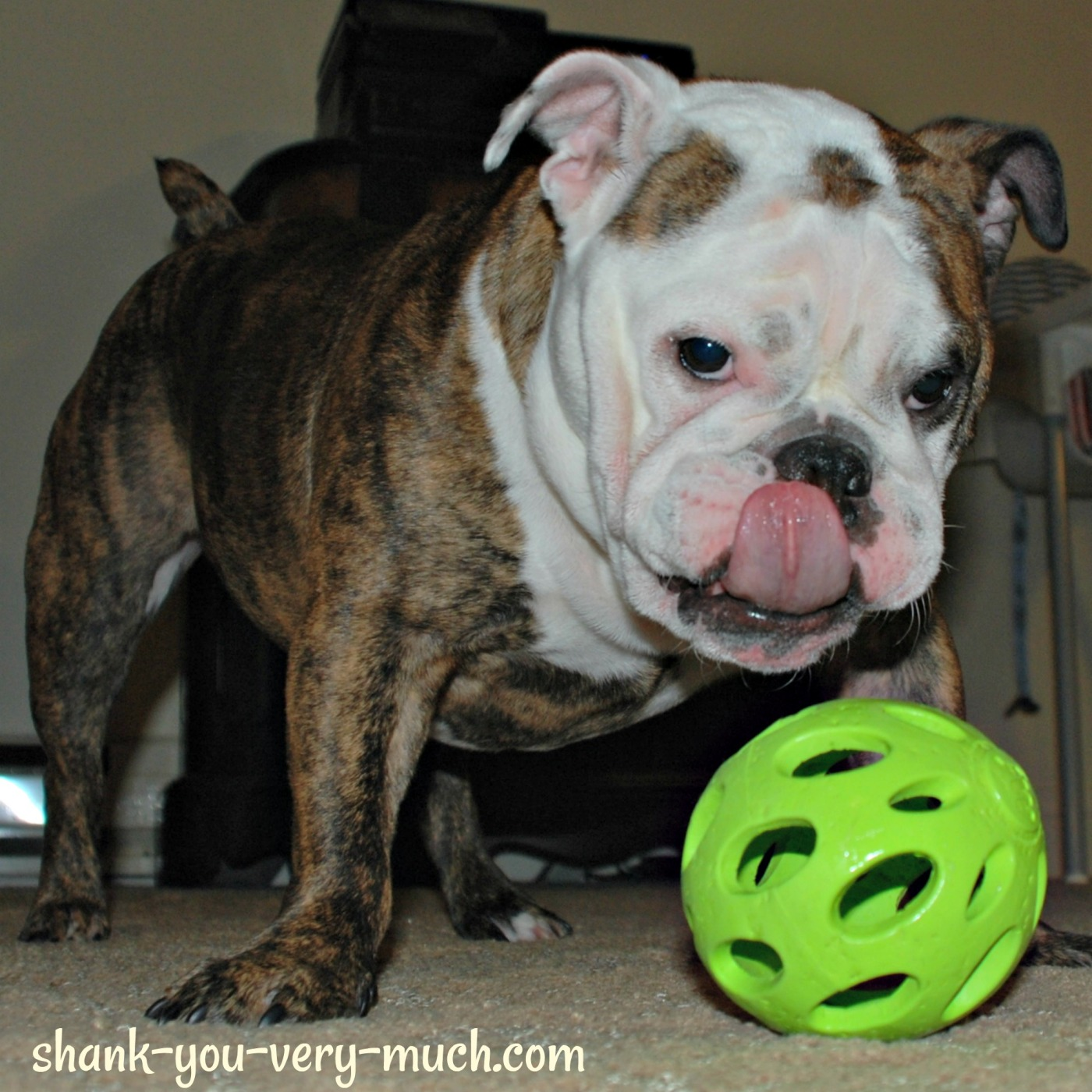 Lola standing over her ball, licking her lips.