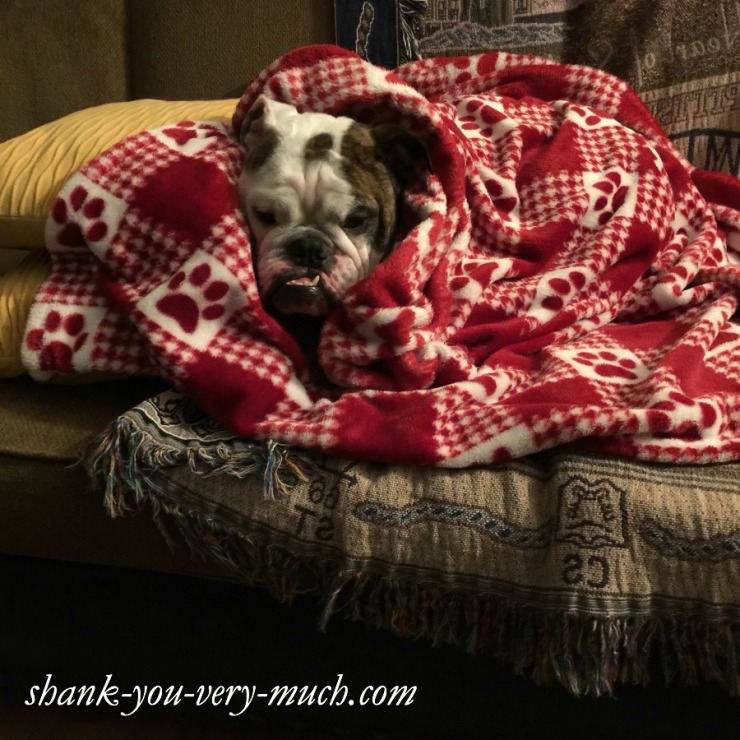 Lola the English Bulldog is sitting on a couch, wrapped up in a red fleece blanket and ready to take a nap.