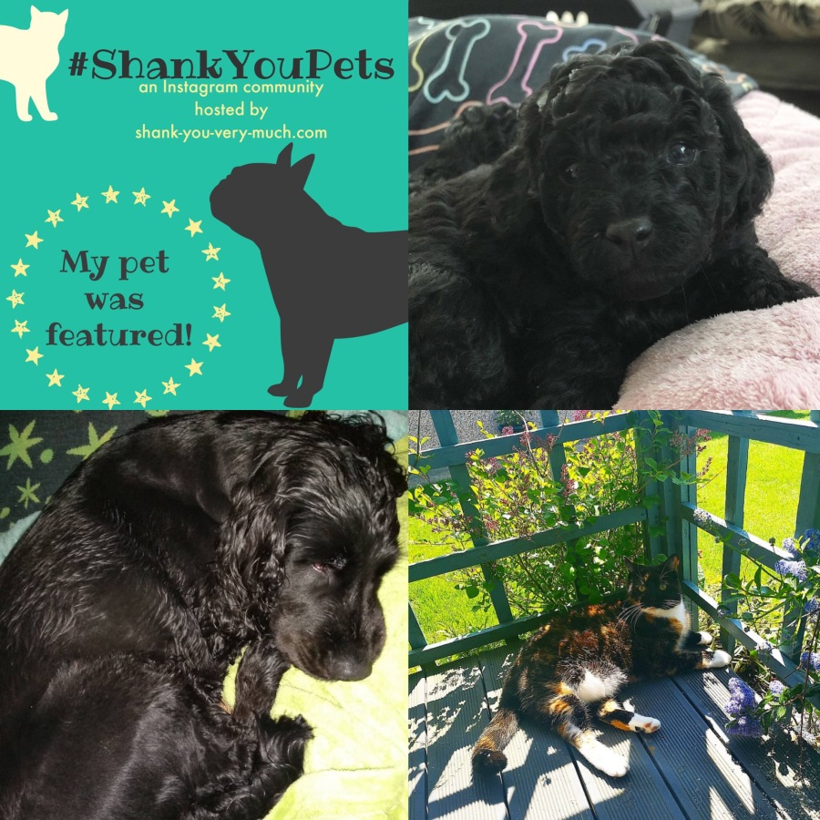 A collage showing a tiny black puppy, an older black dog who just had a bath, and a patchwork cat napping in the sunshine.