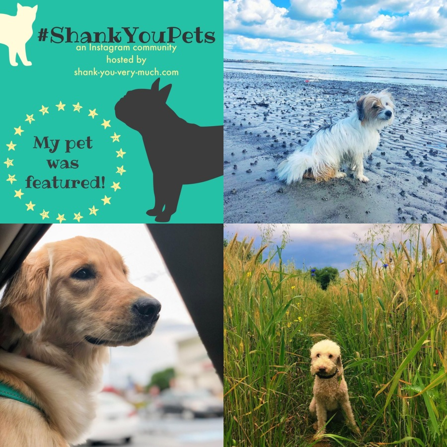 A collage of dogs exploring the great outdoors. One is sitting on the beach, one is riding in a car with her head out the window. One is in a cornfield.